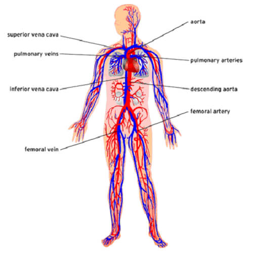 What are the Basic Parts of the Human Body?