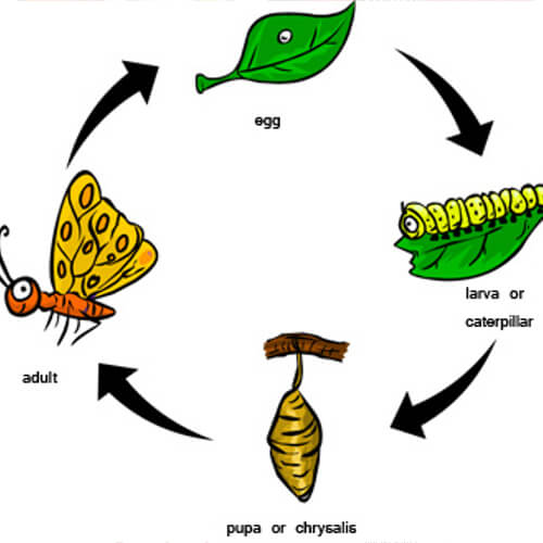 What is the Life Cycle of a Butterfly?